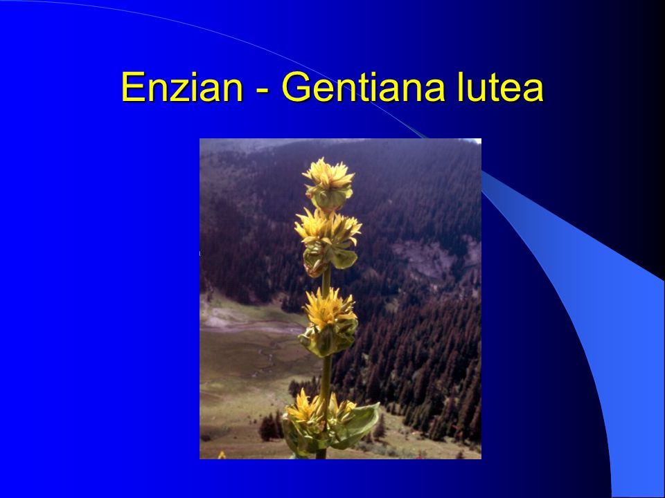 Enzian - Gentiana lutea