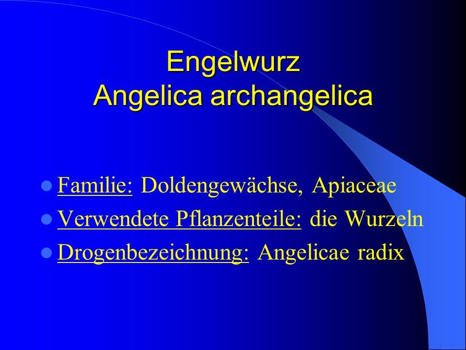 Engelwurz Angelica archangelica