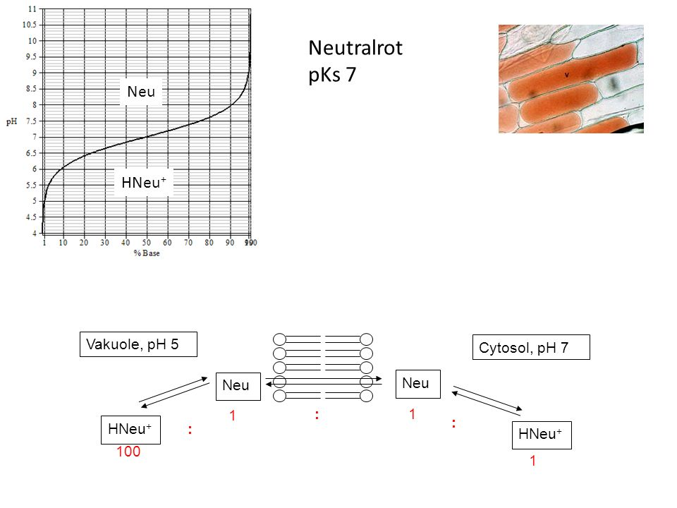 Neutralrot pKs 7 Neu HNeu+ Vakuole, pH 5 Cytosol, pH 7 Neu 1 : HNeu+