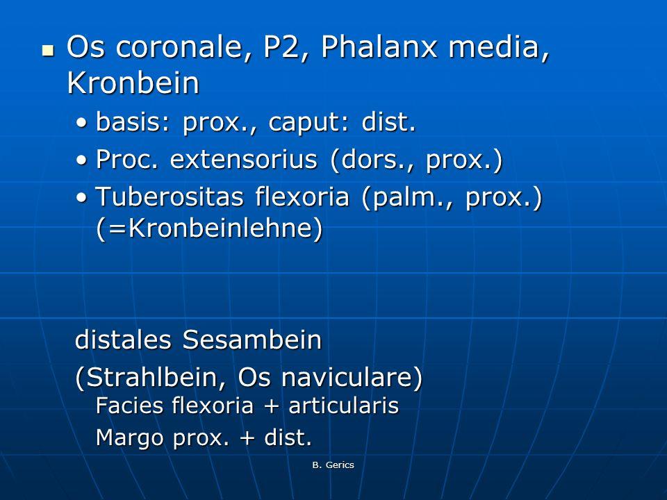 Os coronale, P2, Phalanx media, Kronbein