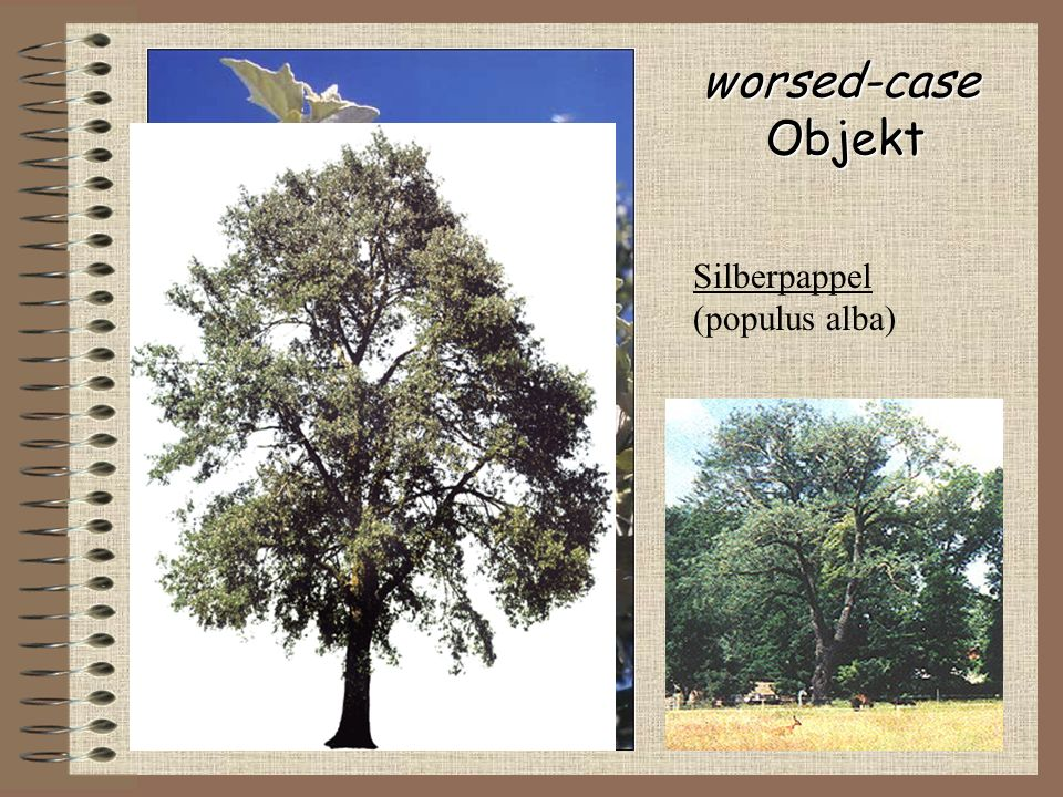 worsed-case Objekt Silberpappel (populus alba)