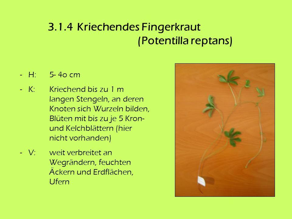 3.1.4 Kriechendes Fingerkraut (Potentilla reptans)