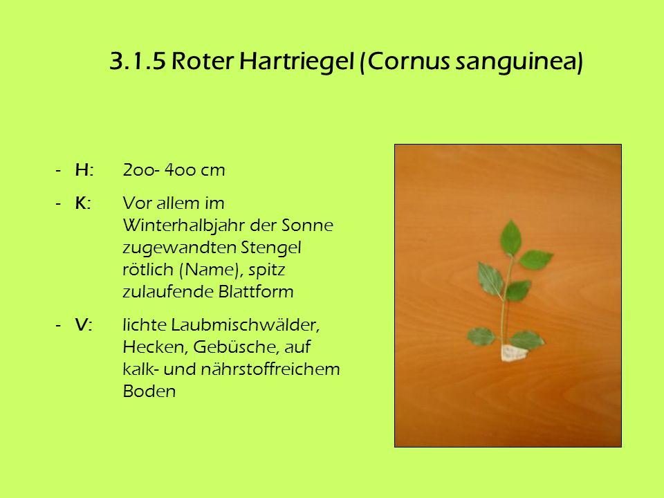 3.1.5 Roter Hartriegel (Cornus sanguinea)