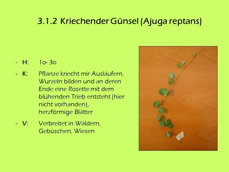 3.1.2 Kriechender Günsel (Ajuga reptans)
