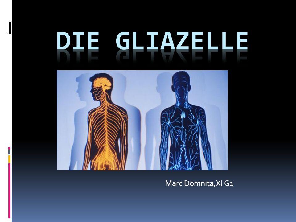 Die Gliazelle Marc Domnita,XI G1