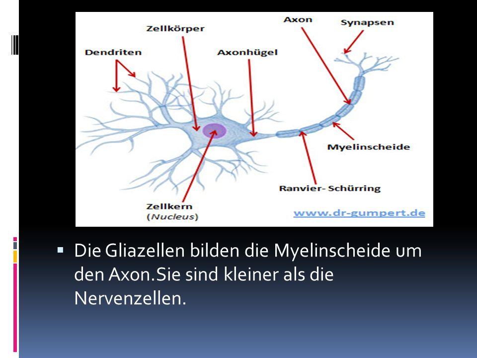 Die Gliazellen bilden die Myelinscheide um den Axon