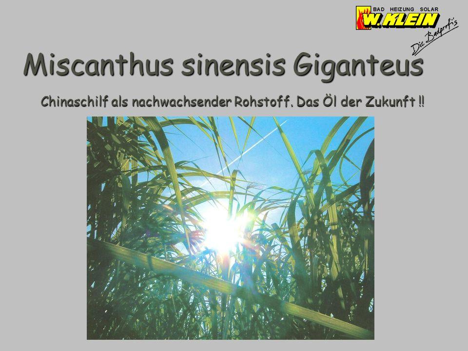 Miscanthus sinensis Giganteus