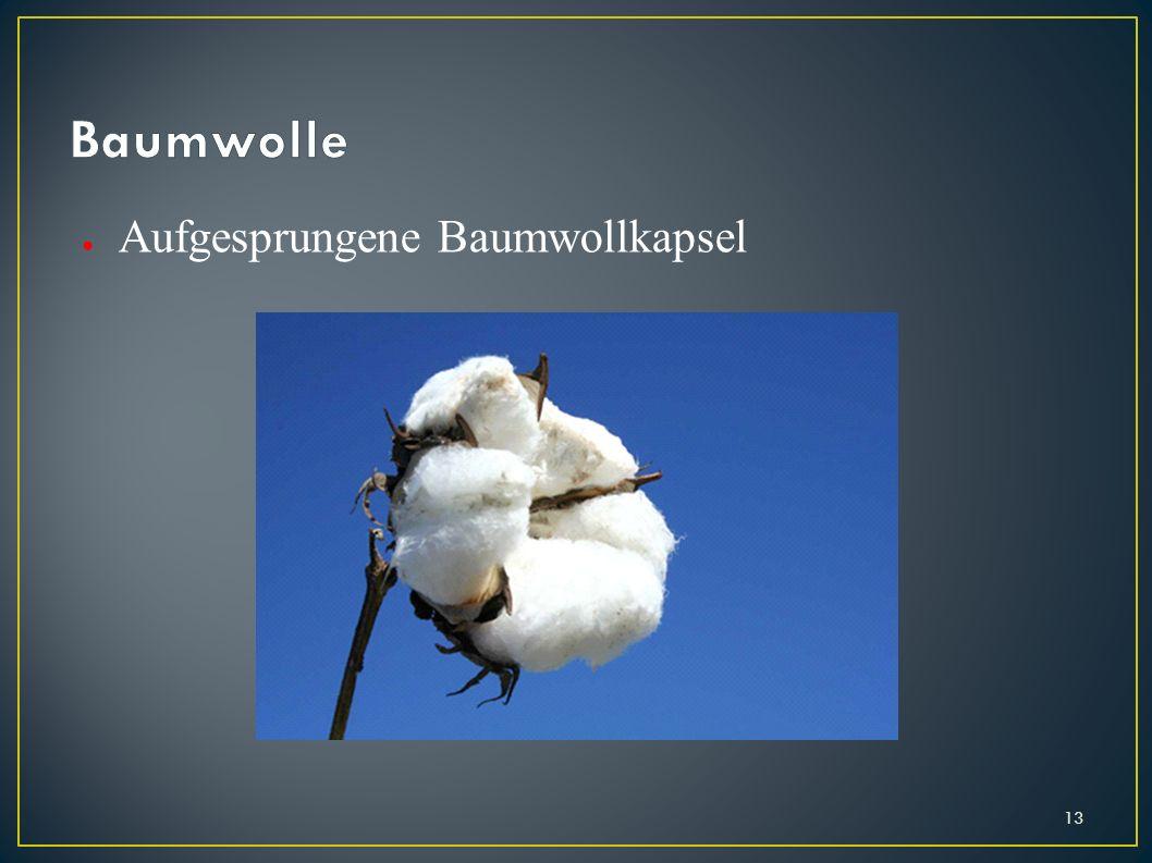 Baumwolle Aufgesprungene Baumwollkapsel