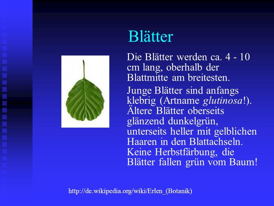 Blätter Die Blätter werden ca. 4 - 10 cm lang, oberhalb der Blattmitte am breitesten.