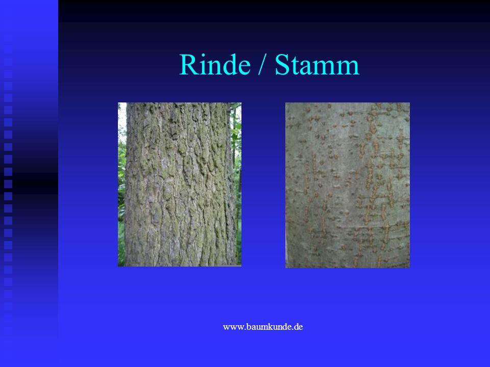 Rinde / Stamm www.baumkunde.de