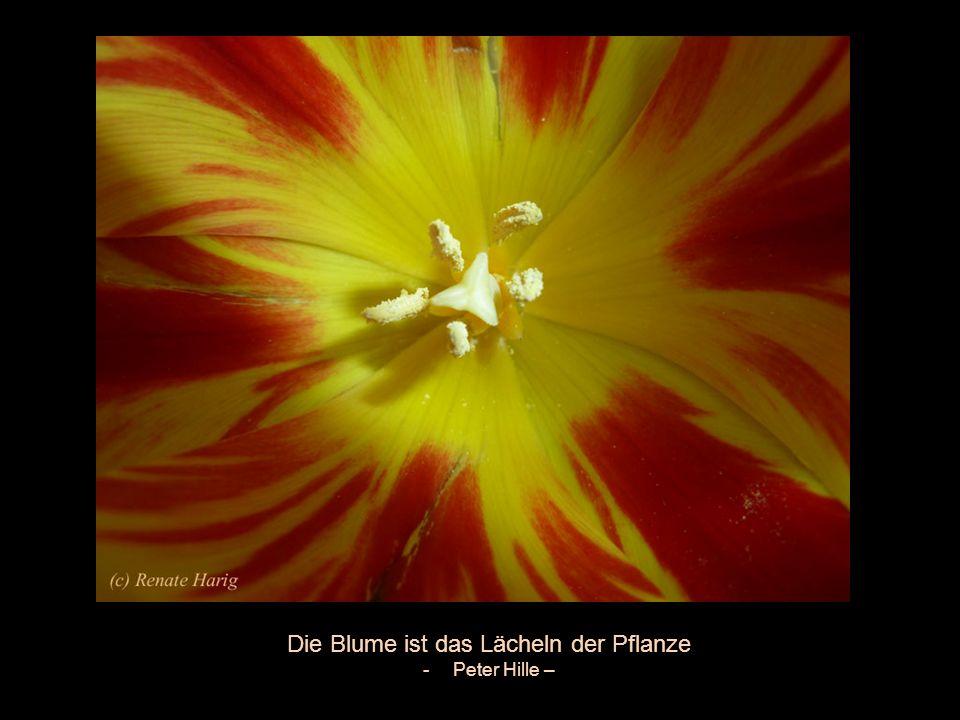 Die Blume ist das Lächeln der Pflanze