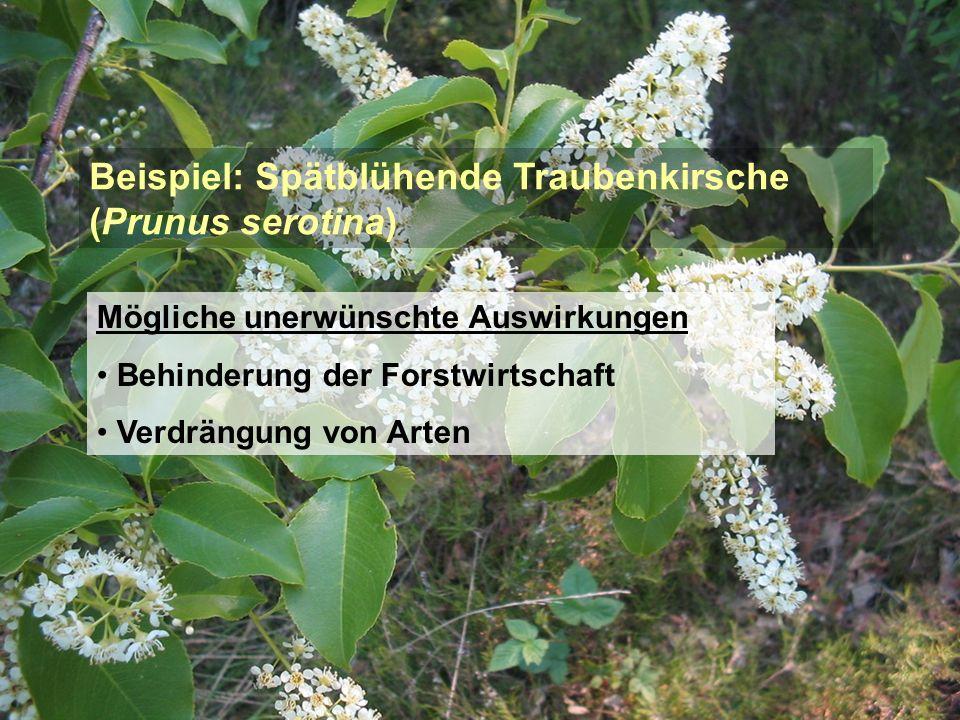 Beispiel: Spätblühende Traubenkirsche (Prunus serotina)
