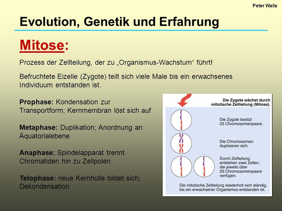 Mitose: Evolution, Genetik und Erfahrung
