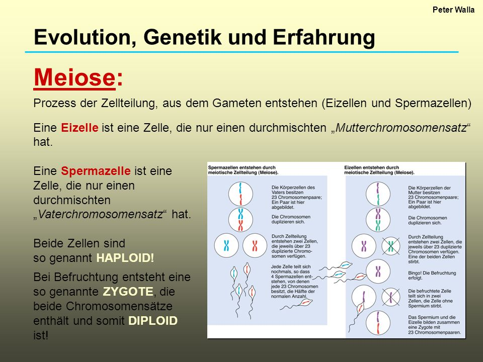 Meiose: Evolution, Genetik und Erfahrung