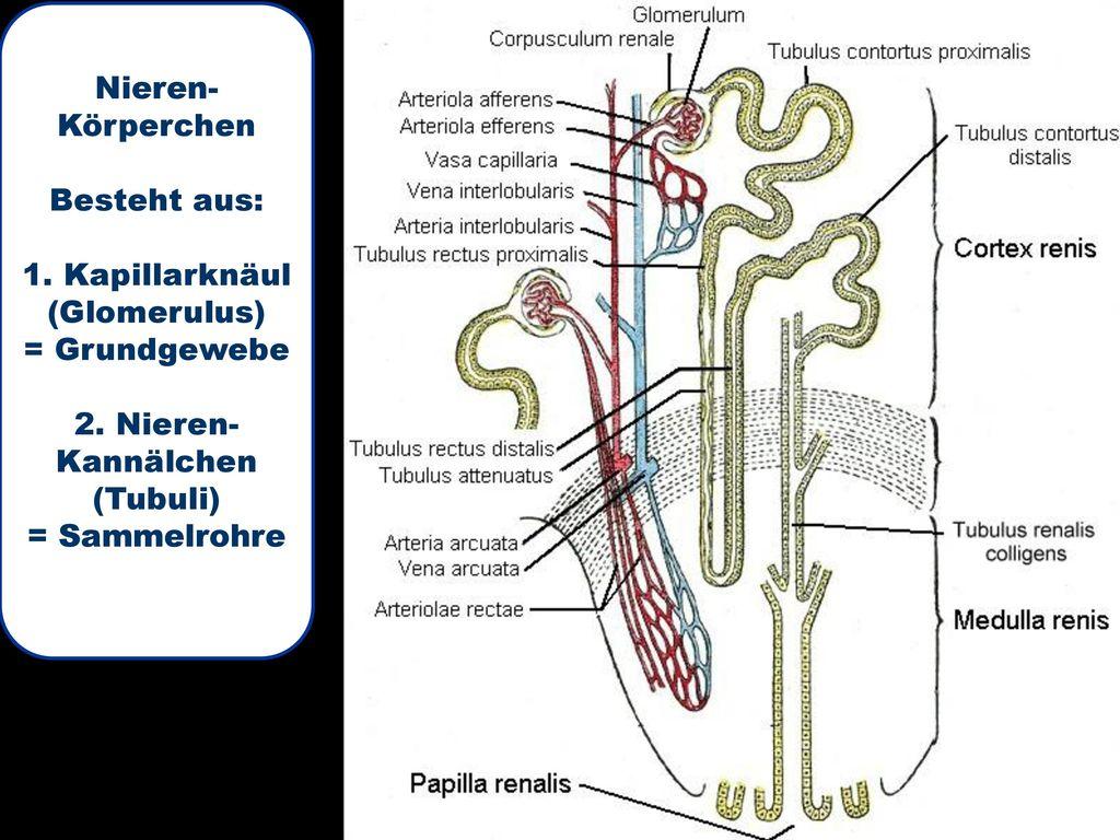 Tolle Lage Der Niere Ideen - Physiologie Von Menschlichen ...
