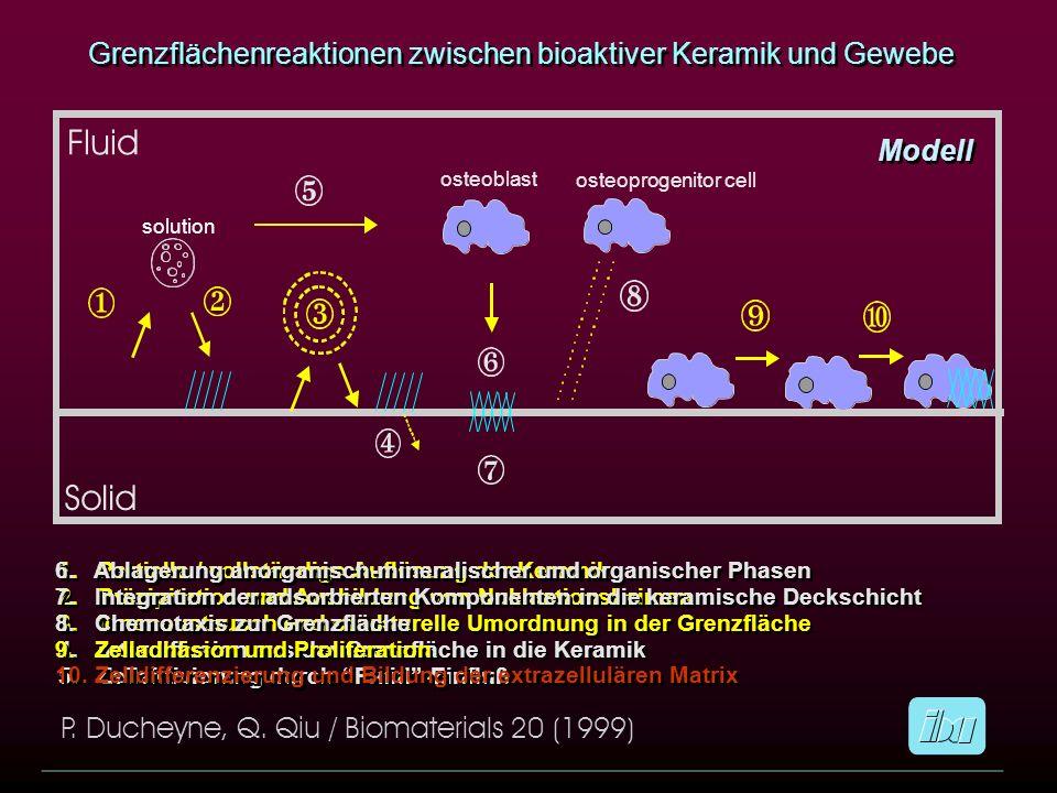 Grenzflächenreaktionen zwischen bioaktiver Keramik und Gewebe