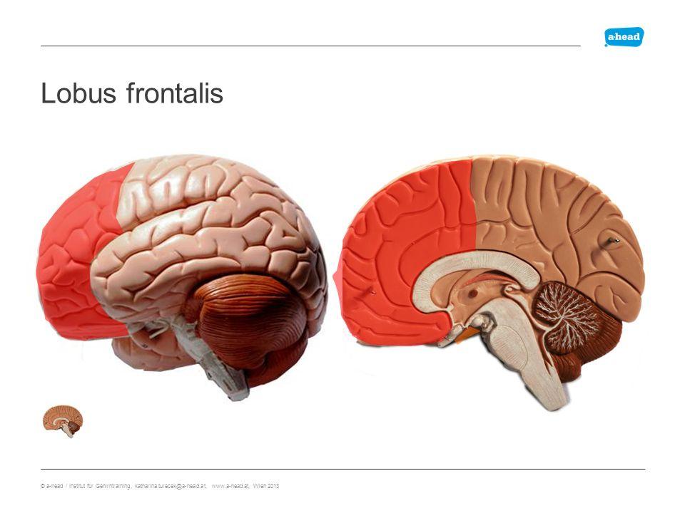 Lobus frontalis Lobus Frontalis