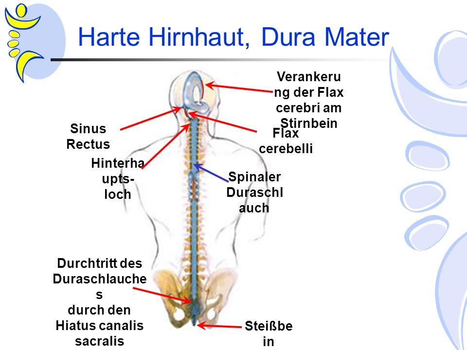 Harte Hirnhaut, Dura Mater