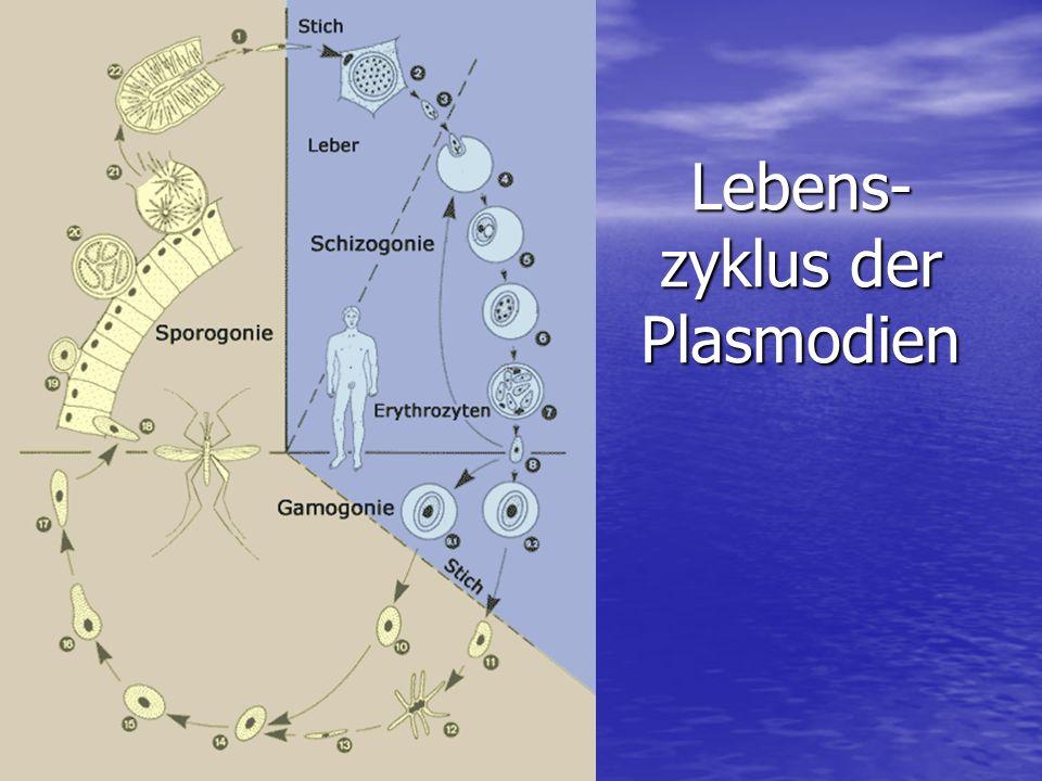 Lebens-zyklus der Plasmodien