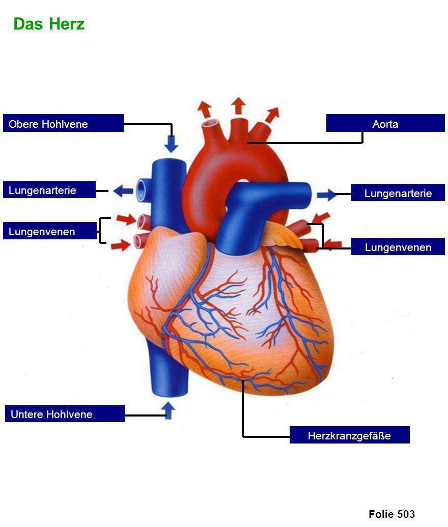 Das Herz Obere Hohlvene Aorta Lungenarterie Lungenarterie Lungenvenen