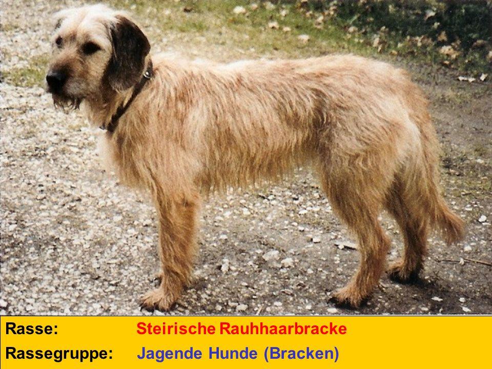 Rasse: Steirische Rauhhaarbracke Rassegruppe: Jagende Hunde (Bracken)