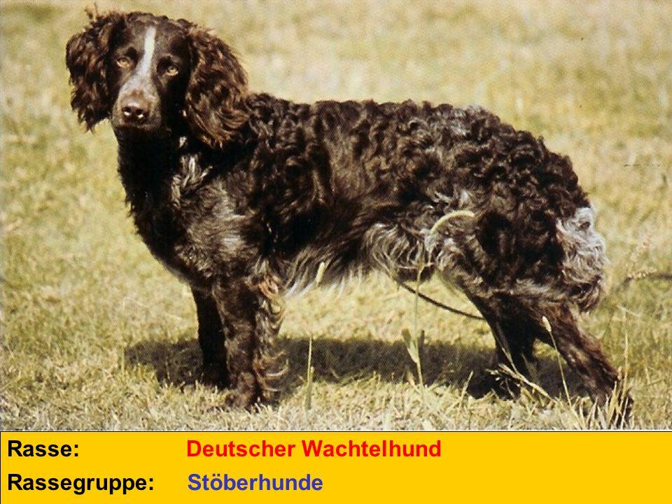 Rasse: Deutscher Wachtelhund Rassegruppe: Stöberhunde