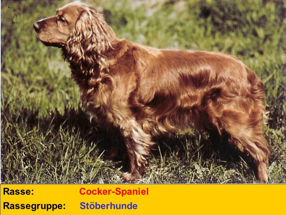 Rasse: Cocker-Spaniel Rassegruppe: Stöberhunde