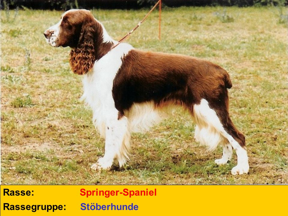 Rasse: Springer-Spaniel Rassegruppe: Stöberhunde