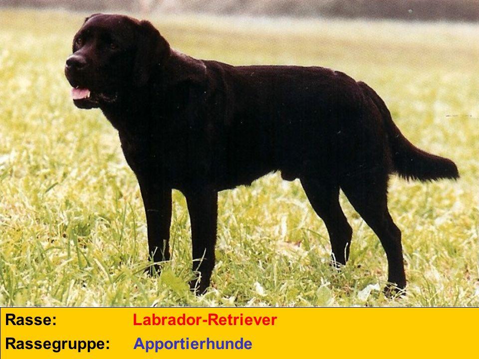 Rasse: Labrador-Retriever Rassegruppe: Apportierhunde