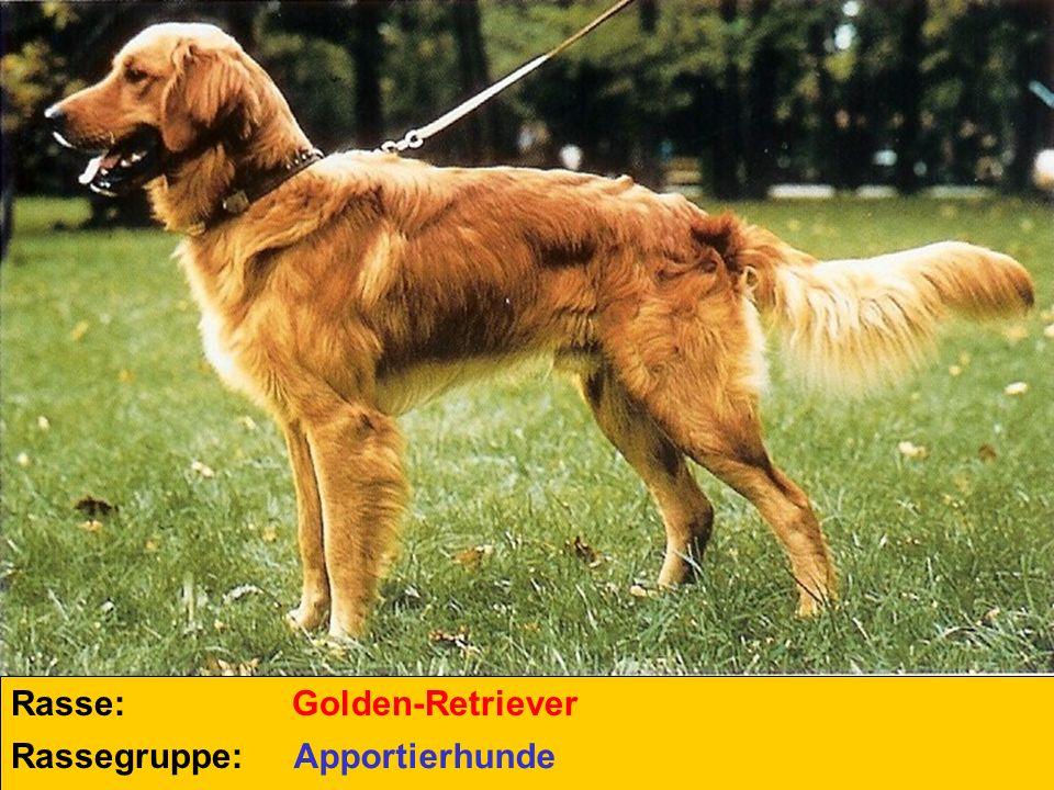 Rasse: Golden-Retriever Rassegruppe: Apportierhunde