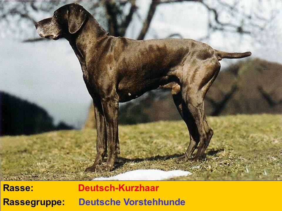 Rasse: Deutsch-Kurzhaar Rassegruppe: Deutsche Vorstehhunde