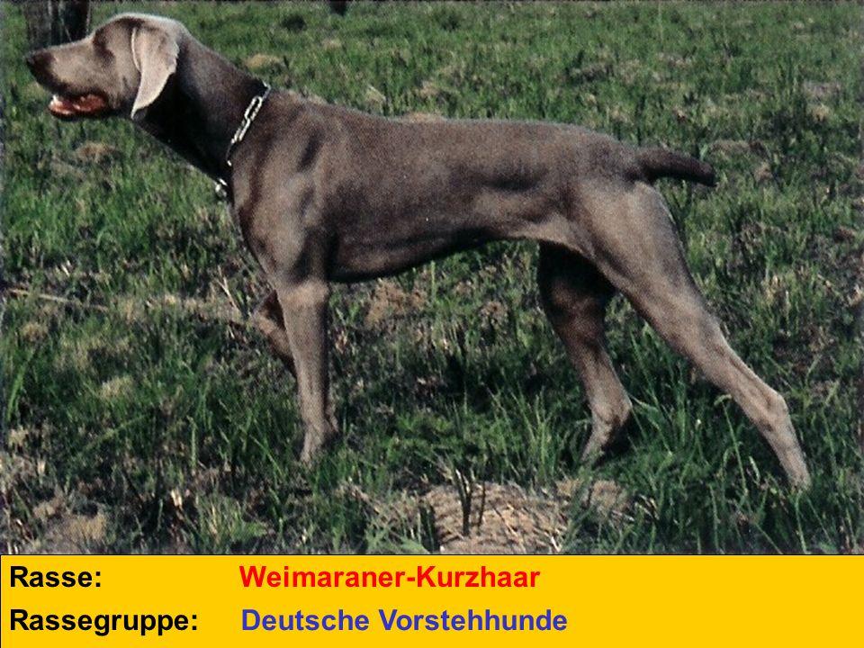 Rasse: Weimaraner-Kurzhaar Rassegruppe: Deutsche Vorstehhunde