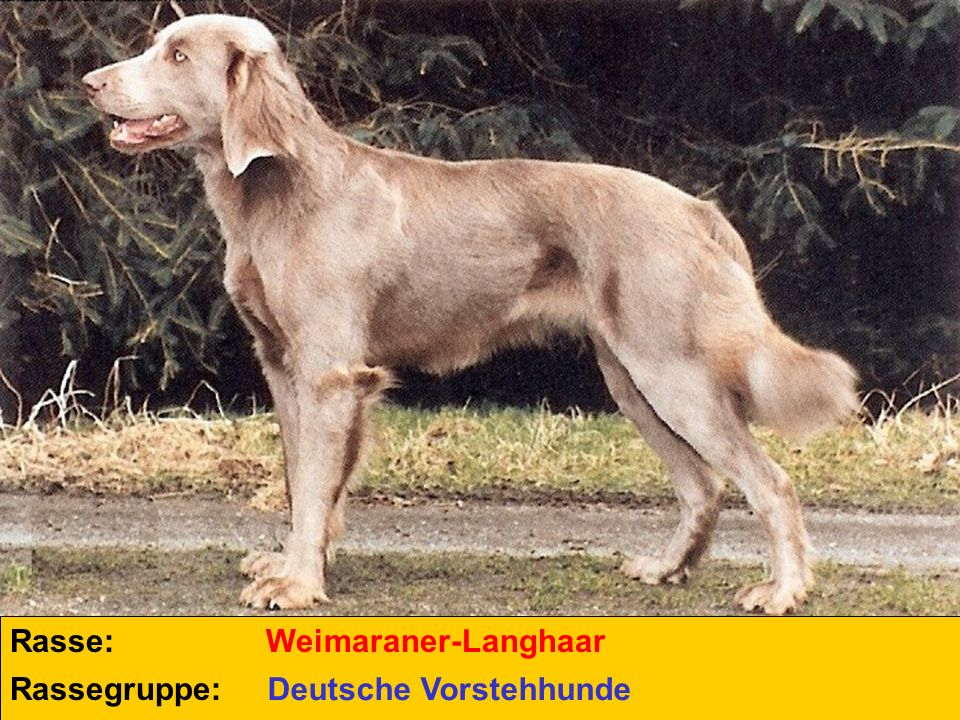 Rasse: Weimaraner-Langhaar Rassegruppe: Deutsche Vorstehhunde