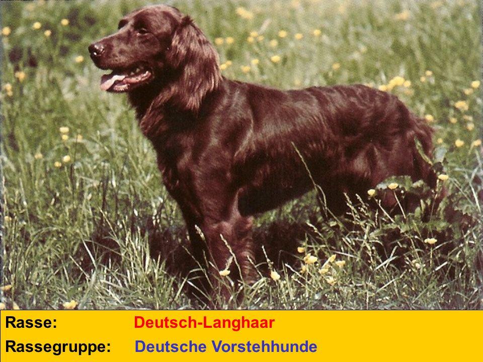 Rasse: Deutsch-Langhaar Rassegruppe: Deutsche Vorstehhunde