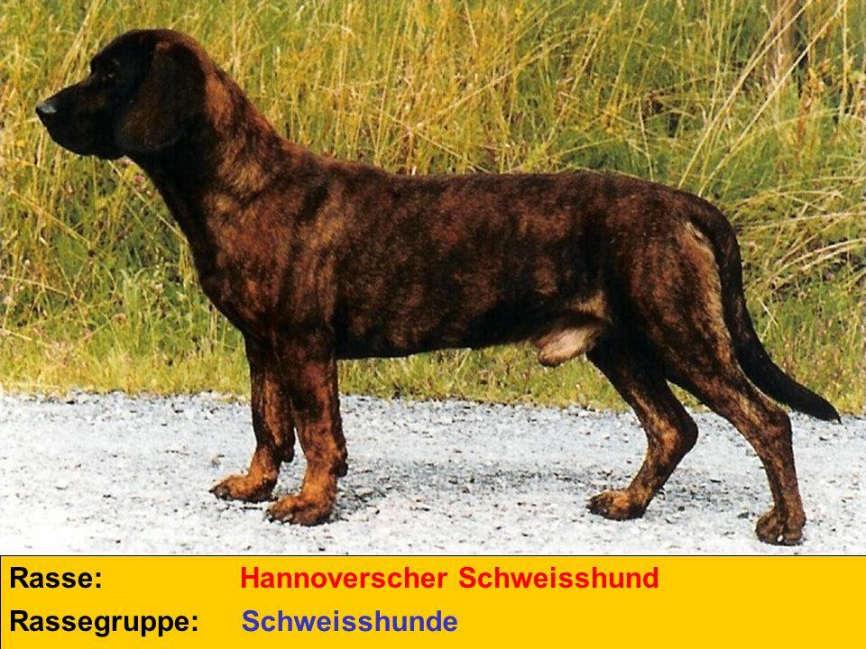 Rasse: Hannoverscher Schweisshund Rassegruppe: Schweisshunde