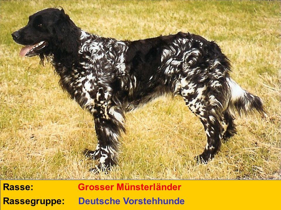 Rasse: Grosser Münsterländer Rassegruppe: Deutsche Vorstehhunde