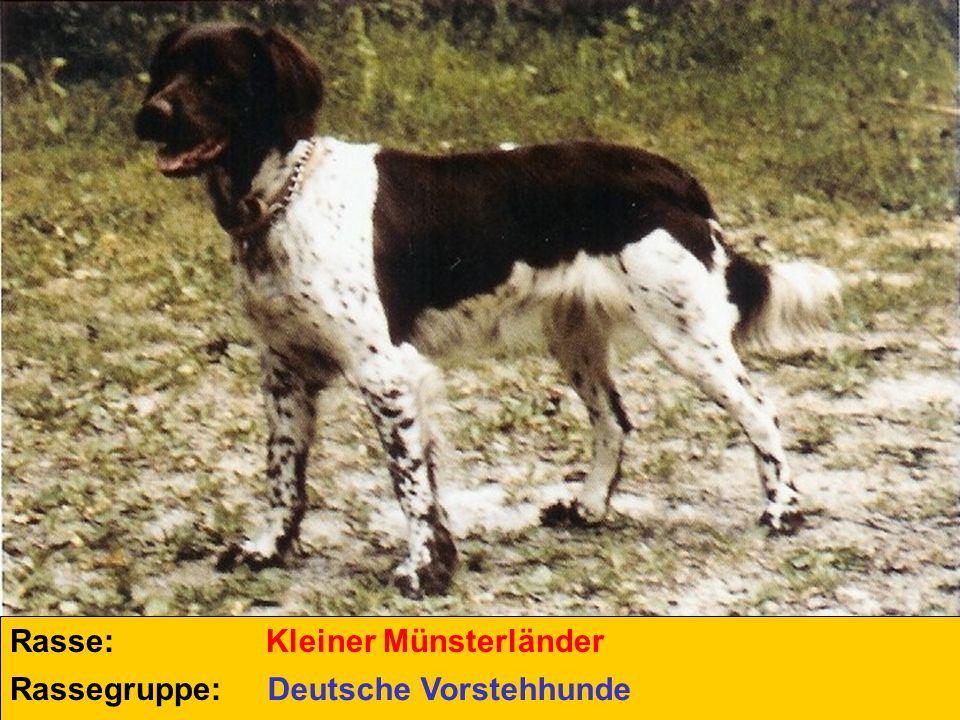 Rasse: Kleiner Münsterländer Rassegruppe: Deutsche Vorstehhunde