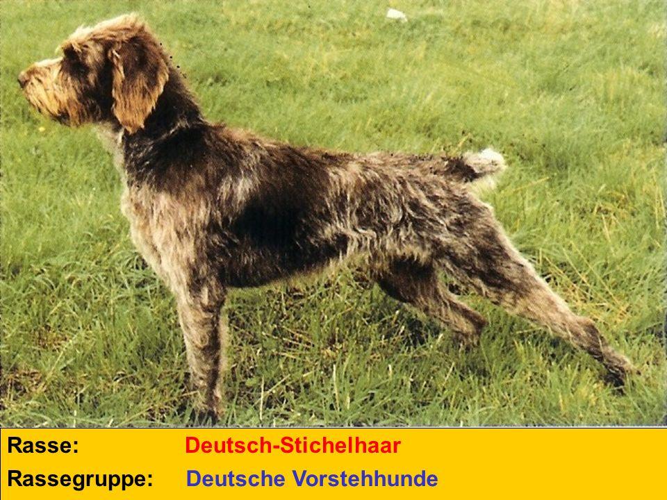 Rasse: Deutsch-Stichelhaar Rassegruppe: Deutsche Vorstehhunde