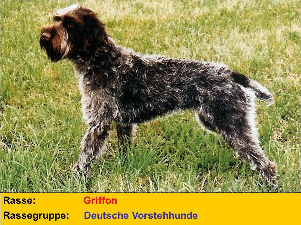 Rasse: Griffon Rassegruppe: Deutsche Vorstehhunde