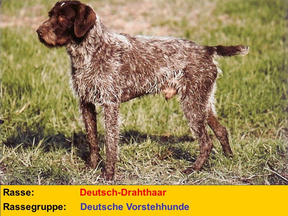 Rasse: Deutsch-Drahthaar Rassegruppe: Deutsche Vorstehhunde