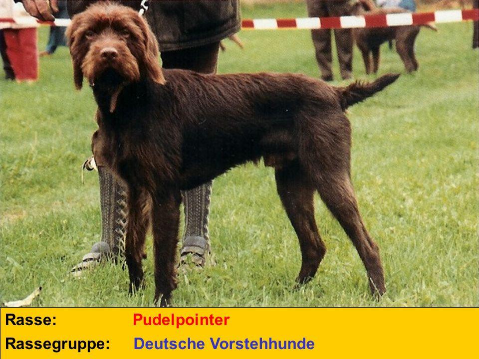 Rasse: Pudelpointer Rassegruppe: Deutsche Vorstehhunde