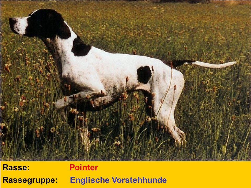 Rasse: Pointer Rassegruppe: Englische Vorstehhunde