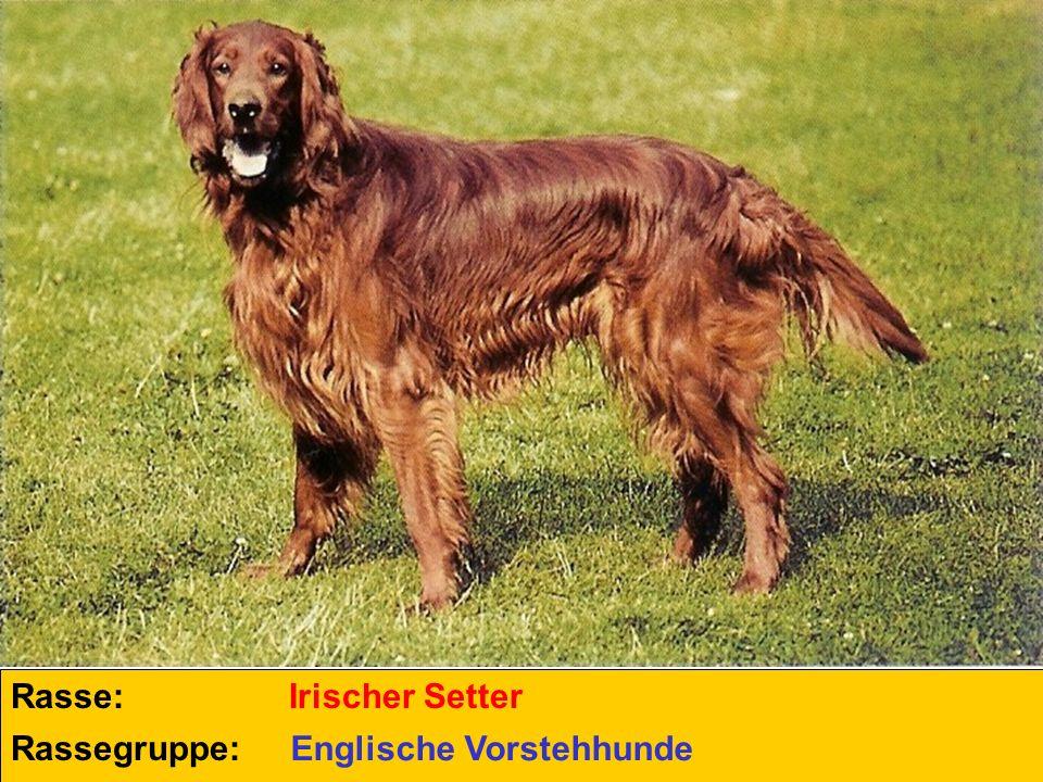 Rasse: Irischer Setter Rassegruppe: Englische Vorstehhunde