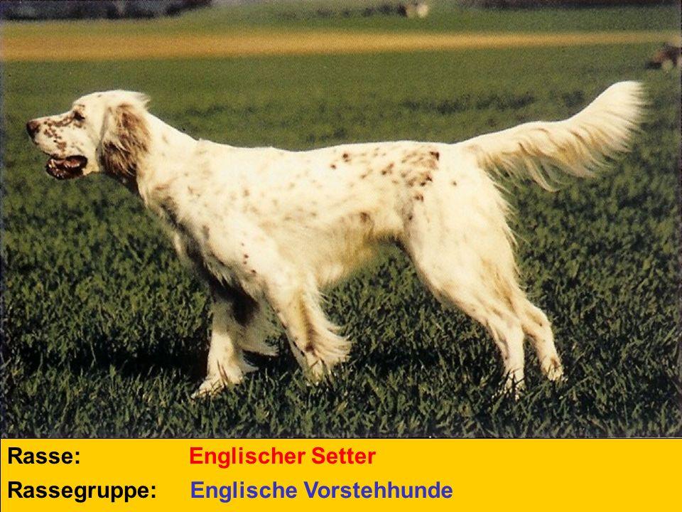 Rasse: Englischer Setter Rassegruppe: Englische Vorstehhunde