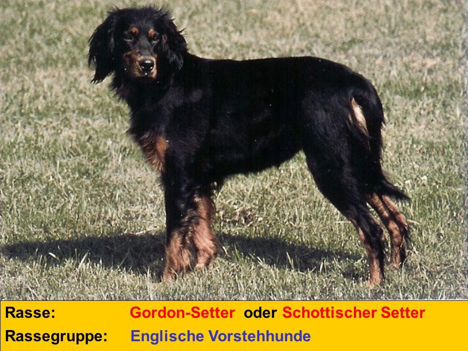 Rasse: Gordon-Setter oder Schottischer Setter Rassegruppe: Englische Vorstehhunde