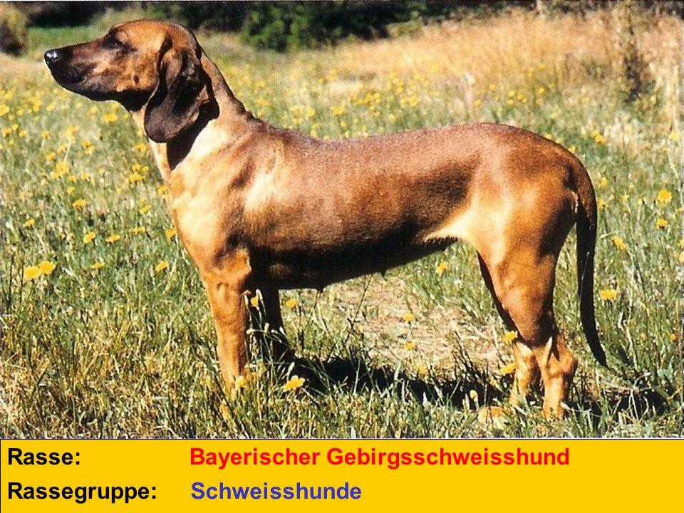 Rasse: Bayerischer Gebirgsschweisshund Rassegruppe: Schweisshunde
