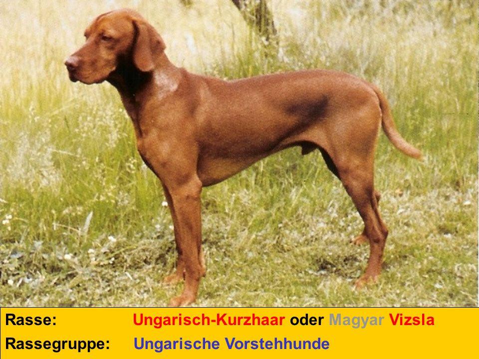 Rasse: Ungarisch-Kurzhaar oder Magyar Vizsla Rassegruppe: Ungarische Vorstehhunde