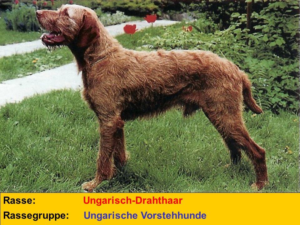 Rasse: Ungarisch-Drahthaar Rassegruppe: Ungarische Vorstehhunde