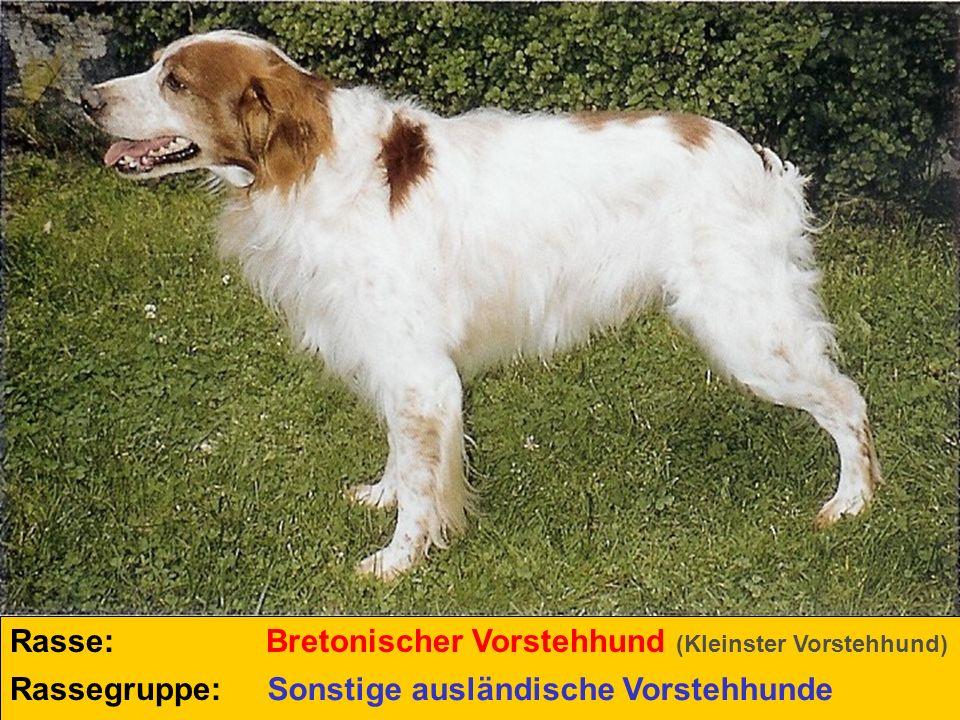Rasse: Bretonischer Vorstehhund (Kleinster Vorstehhund) Rassegruppe: Sonstige ausländische Vorstehhunde.