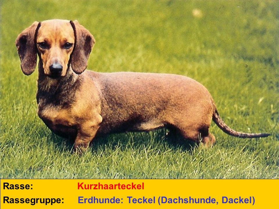 Rasse: Kurzhaarteckel Rassegruppe: Erdhunde: Teckel (Dachshunde, Dackel)